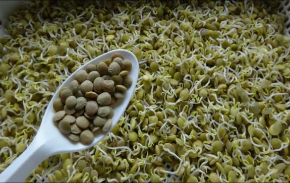 扁豆是各种颜色的豆科植物,所有这些都可以很容易地发芽,以提高其营养价值。 一杯(77克)扁豆芽包装: ♦卡路里:82 ♦碳水化合物:17克 ♦蛋白质:7克 ♦脂肪:0.5克 ♦维生素C:DV的14% ♦叶酸:19%的DV ♦铁:DV的14% 发芽过程将小扁豆的酚含量提高了122%。酚类化合物是一类可提供抗癌、抗炎和抗过敏特性的抗氧化植物化合物。 由于它们的抗氧化能力增强,扁豆芽可以降低LDL(坏)胆固醇,高水平会增加患心